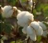 1162766319_cotton_plant_2